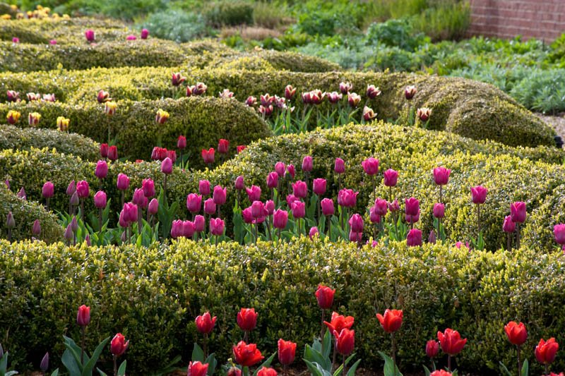 Tulips amongst box hedges at Broughton Grange Oxon