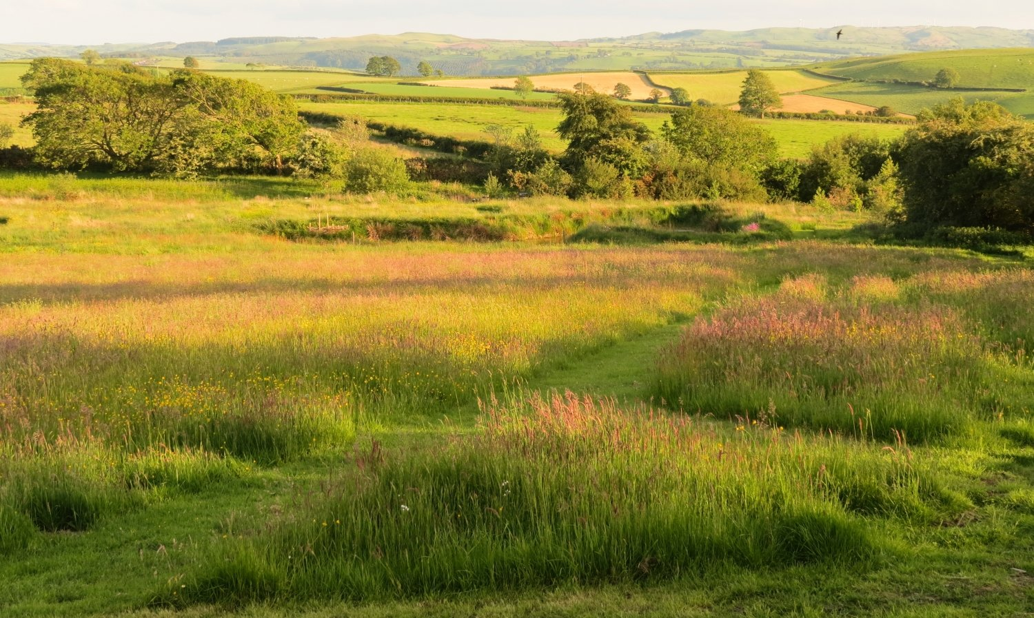 Rich hay meadow at Bryngwyn, Ceredigion