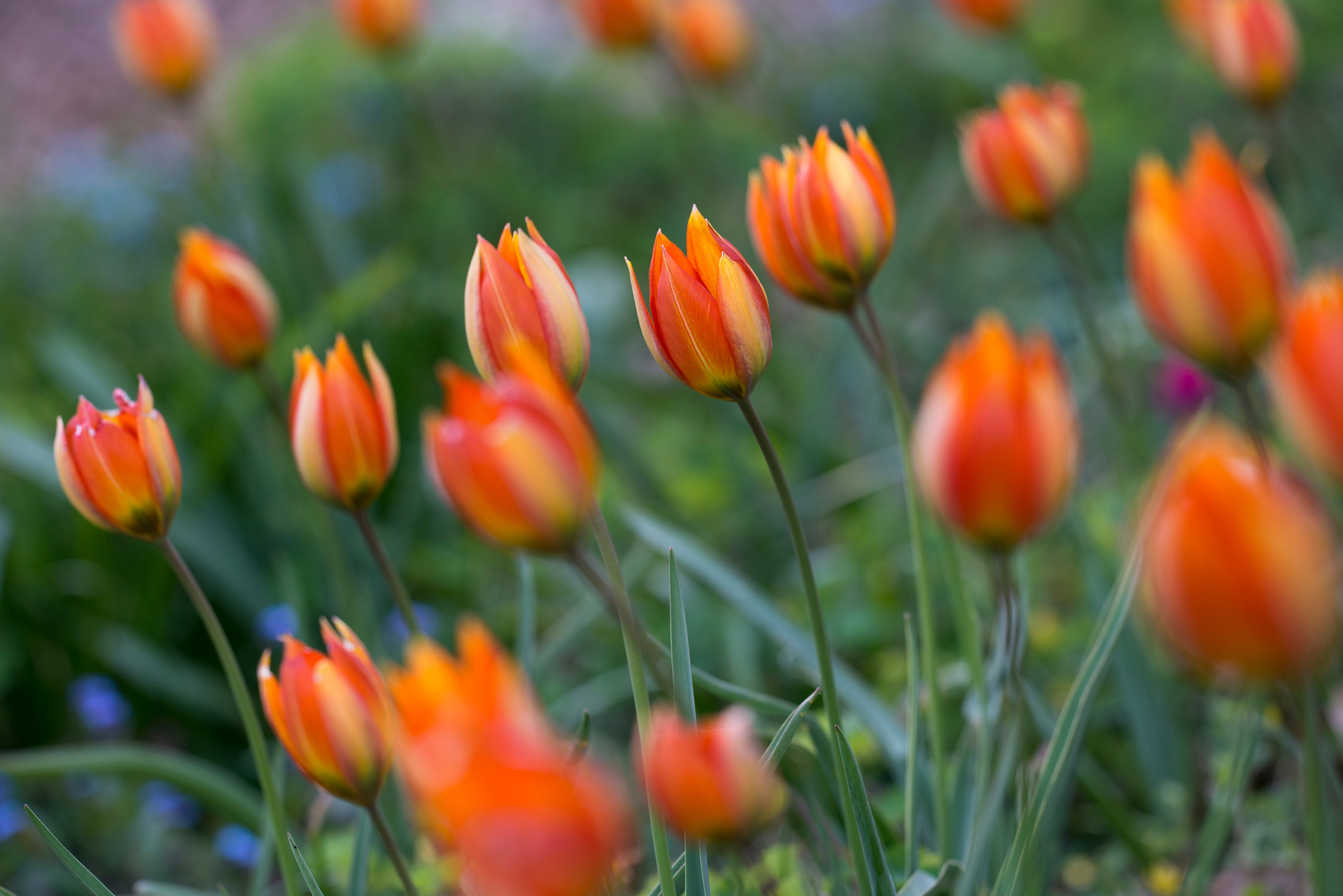 Orange tulips at the Old Rectory, Dorset