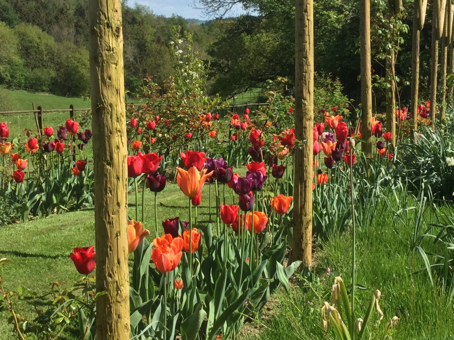 Orange and red tulips at Gorsty House, Powys