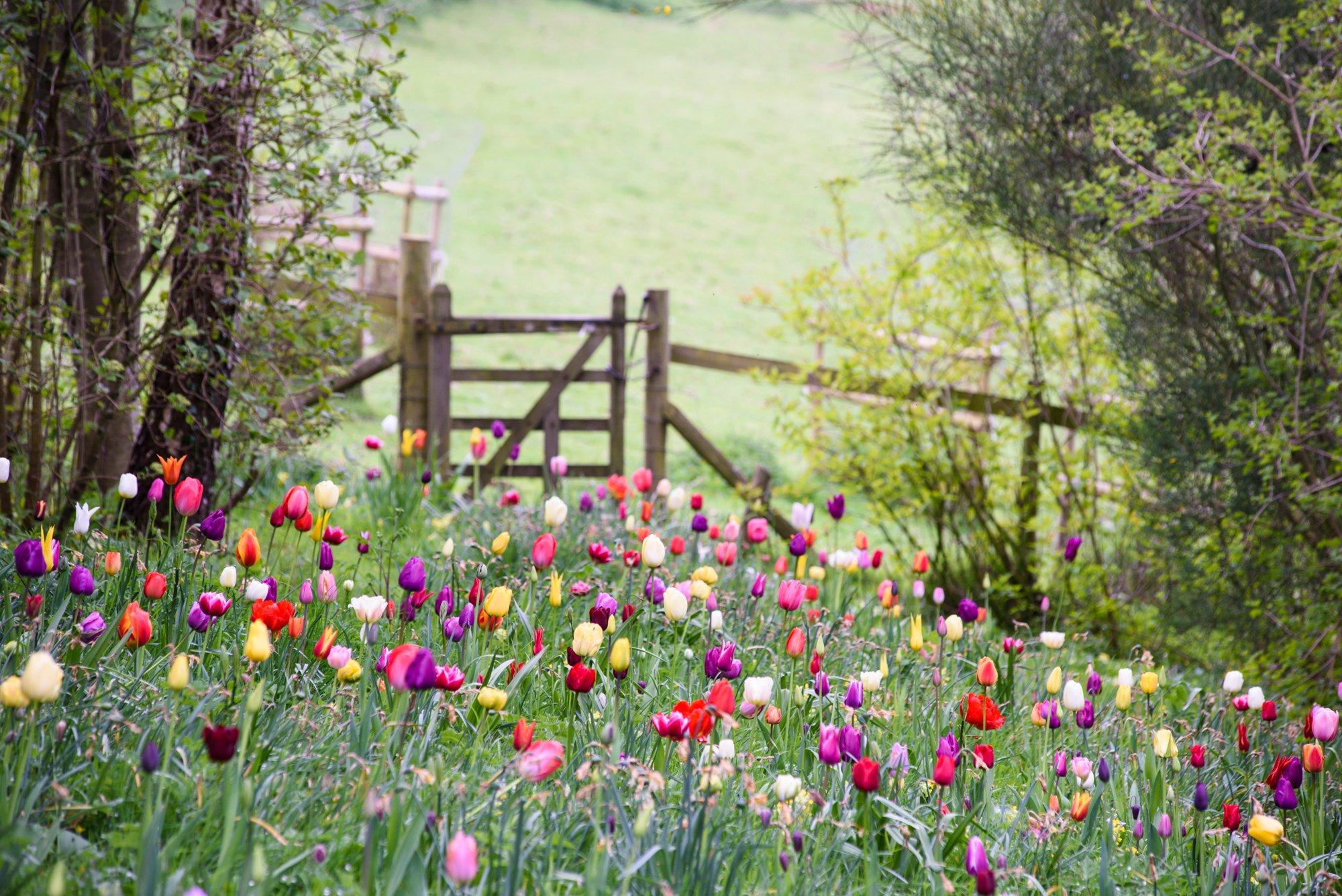 Meadow of tulips leading to a wooden gate