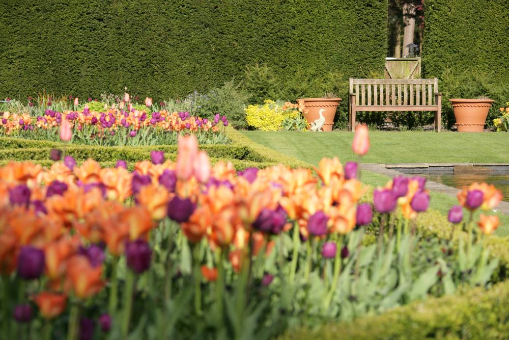 Orange and purple tulips at Abbeywood Garden, Cheshire