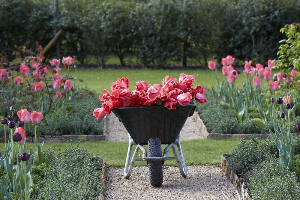 Wheelbarrow full of tulips at Blackland House, Wiltshire