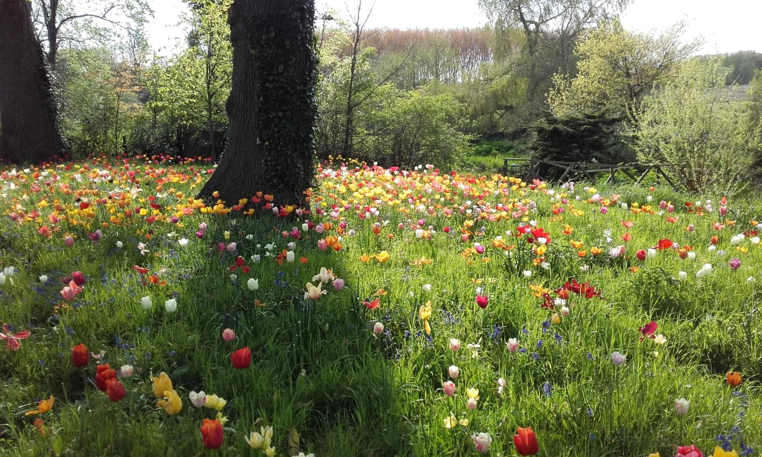 Meadow of tulips at Dunsborough Park, Surrey