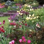 Multicoloured tulips at Glebe House Gwent