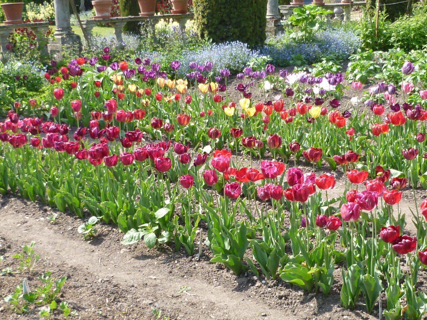 Rows of coulourful tulips at Netherall Manor, Cambs