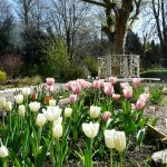 Pink and white tulips in Tyne & Wear