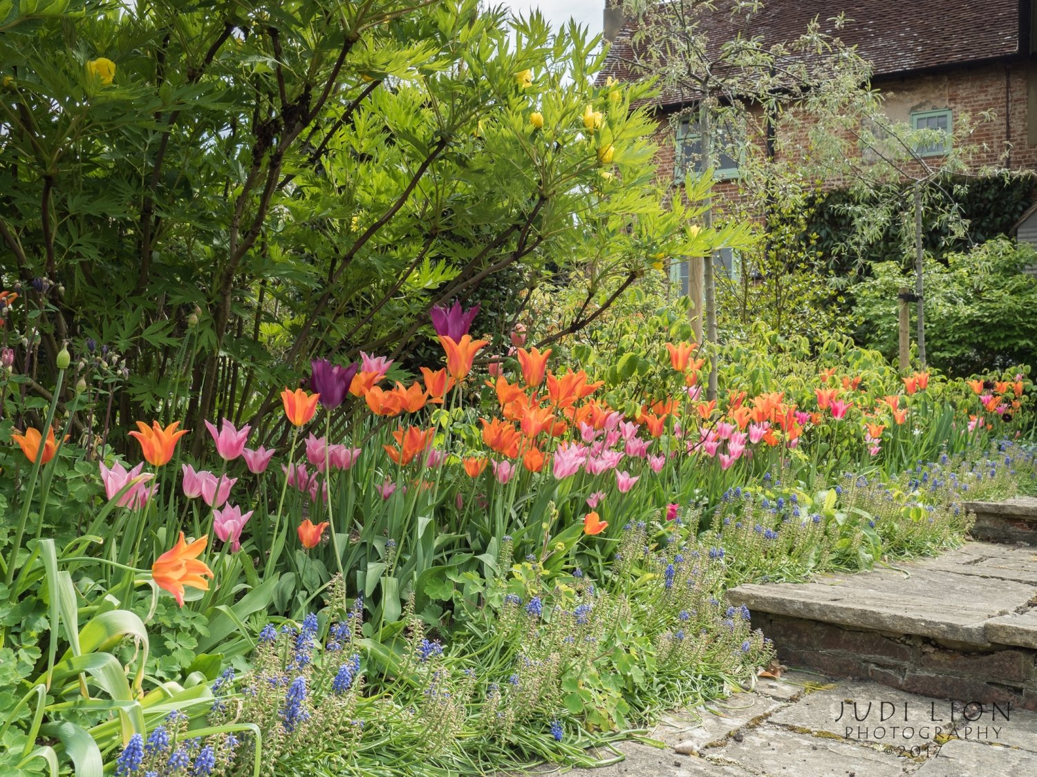 Orange, purple and pink tulips at Sandhill Farm House, Sussex