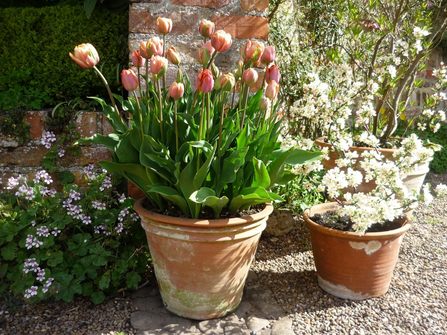 Peach tulips in pot