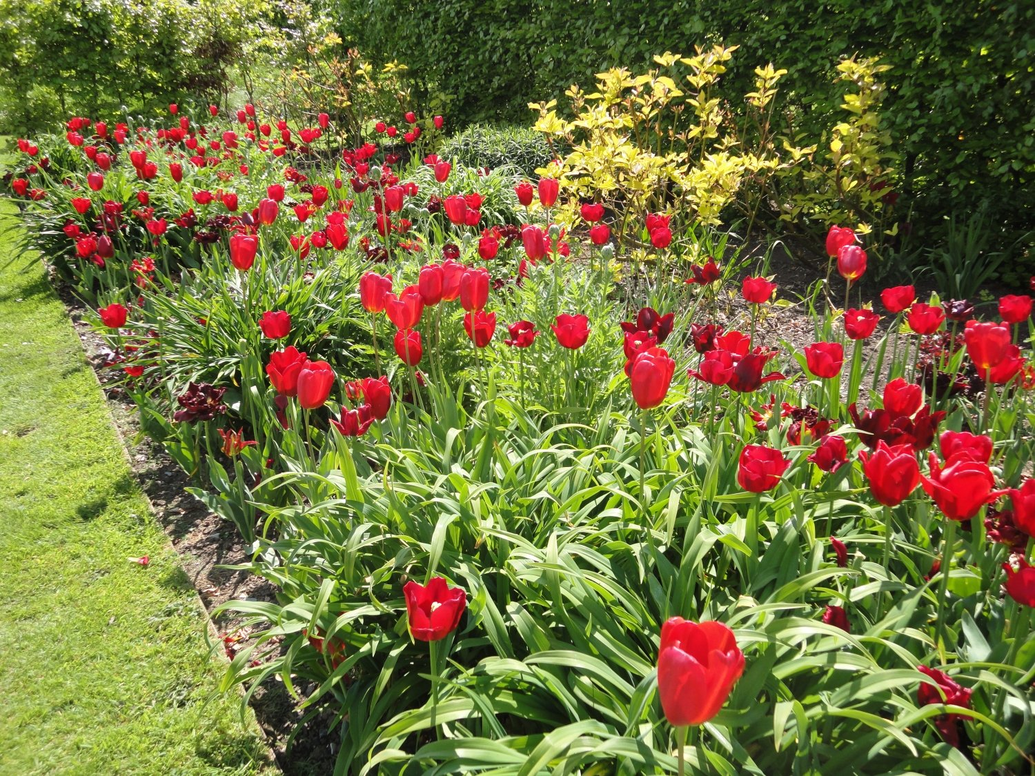 Red tulips at Yeo Valley Organic Garden. Somerset
