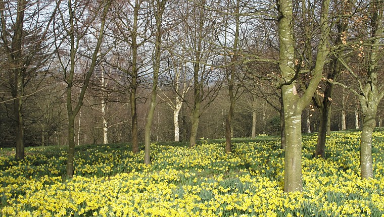 Step into Spring in a daffodil garden