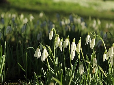 Five fun facts about Snowdrops for a Friday in Feb